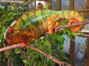 chameleon vincent wong